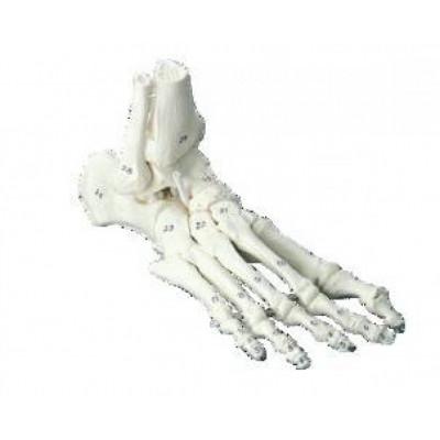 Squelette du Pied avec os numérotés