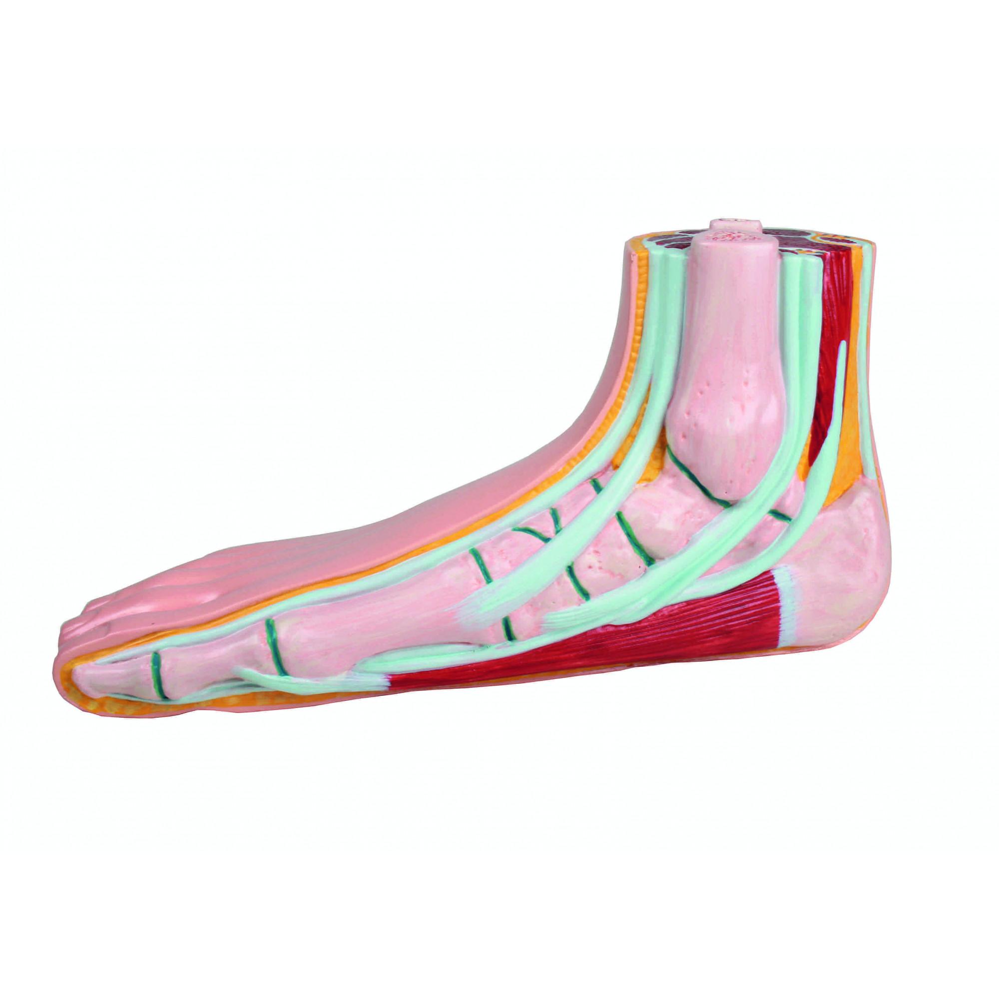 Modèle de pied plat