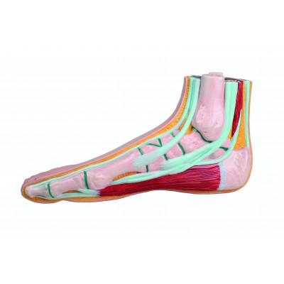 Modèle de pied physiologique