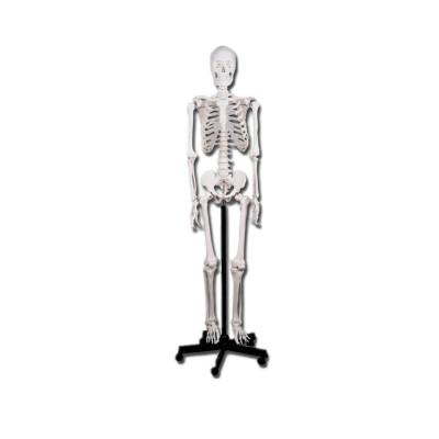 Squelette corp humain classique