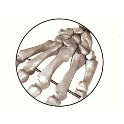 Squelette humain grandeur nature 170cm avec muscles sur côté gauche