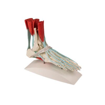 Squelette du pied avec courroies