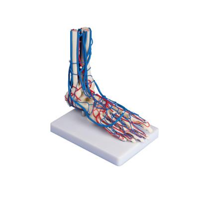 Squelette du pied avec vaisseaux sanguins