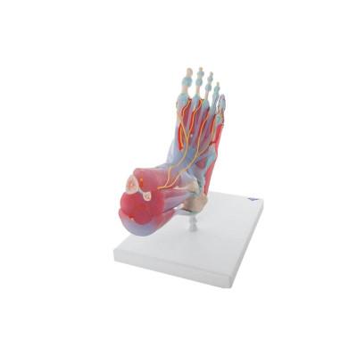 Modèle de squelette du pied avec ligaments et muscles
